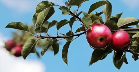 2020產季智利出口有機蘋果2.5萬噸