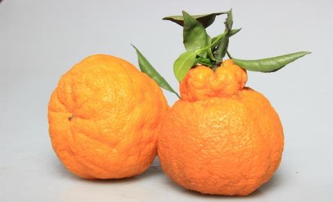 丑橘成美國網紅水果,西班牙將在2年內開始種植
