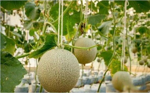 海阳100亩网纹瓜首次获得出口资质