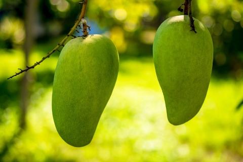 百色成为全国最大芒果生产基地,90万吨年产量创新高