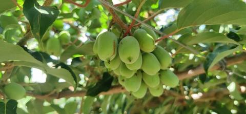 网红多年热度不减,专访国内首家奇异莓种植商