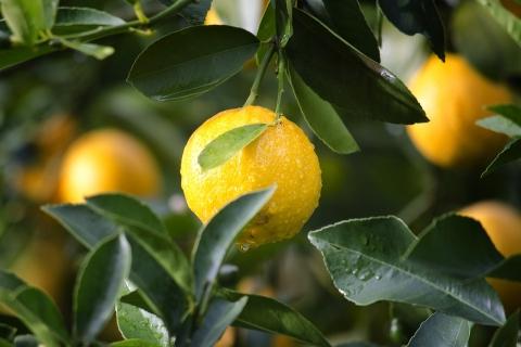安岳柠檬价格指数走高,上半年累计上涨22%